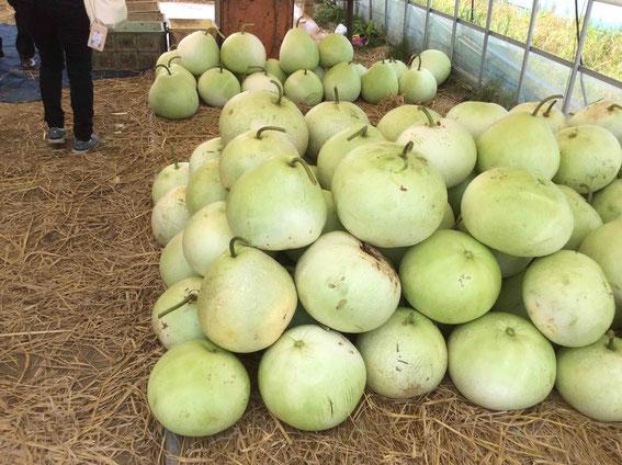 干瓢は夕顔の実から作る。一個の重さは8~10kg!水分が9割。