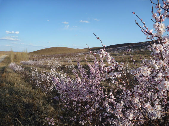 地球緑化クラブが植えた杏の林