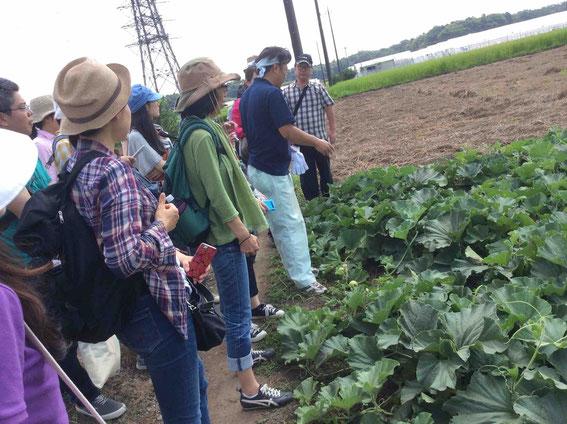 収穫は6月下旬から8月上旬。炎天下での作業。つる一本から7~8個収穫。
