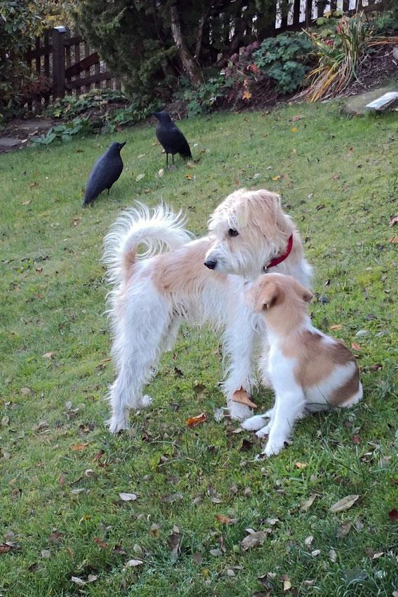 Bruno ist gut angekommen und teilt das Leben nun mit Aramis vom Büscher Wildfuchs