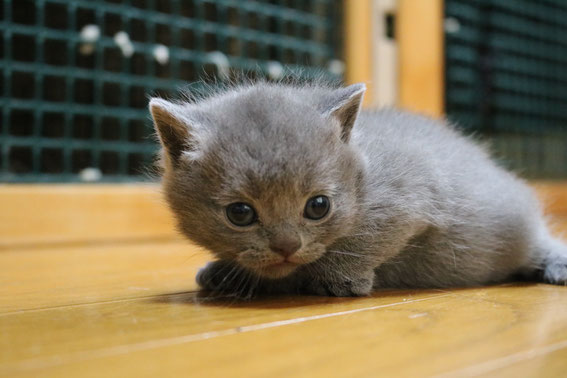 ブリティッシュショートヘア 子猫 ブリーダー 猫