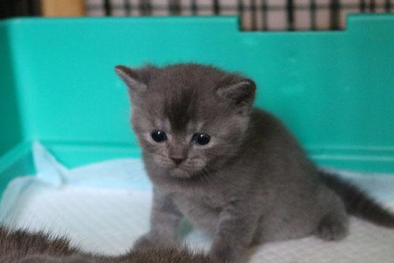 子猫 ブリーダー 猫 ブリティッシュショートヘア