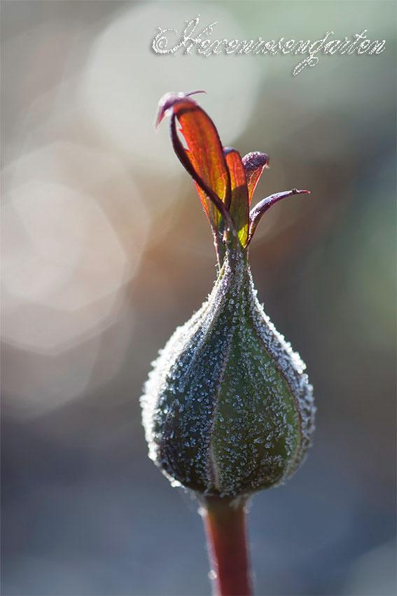 Rosen Rosenblog Hexenrosengarten Knospe Frost