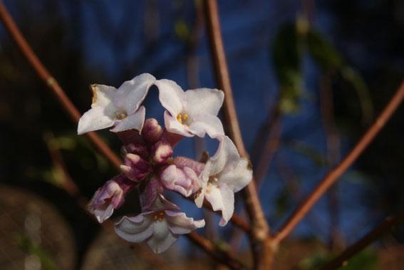 Daphne bholua - delicious winter scent