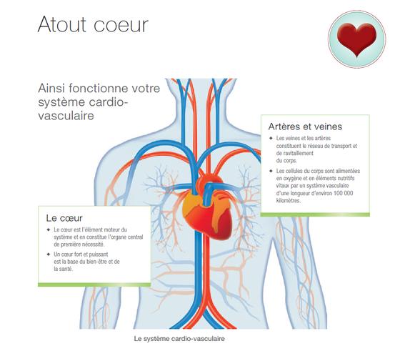 Ainsi fonctionne vote système cardio-vasculaire