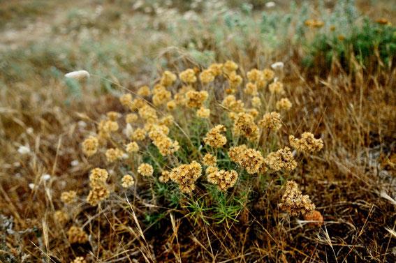 _DSC7073_Immortelle des dunes-Helichrysum stoechas-Astéracées-Espagne plage de Ceiruga