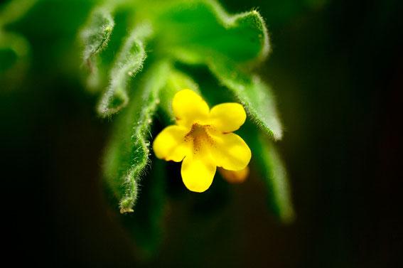 _DSC4968_Henné jaune, Orcanette jaune-Alkanna lutea-Boraginaceae (Photographiée en Turquie)