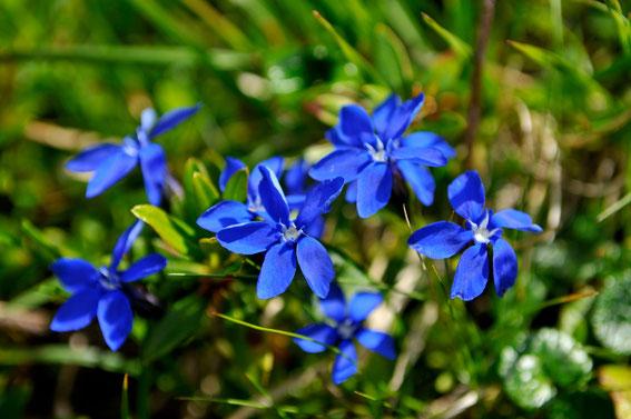 _DSC5239_Gentiane de printemps-Gentiana verna-Gentianacées