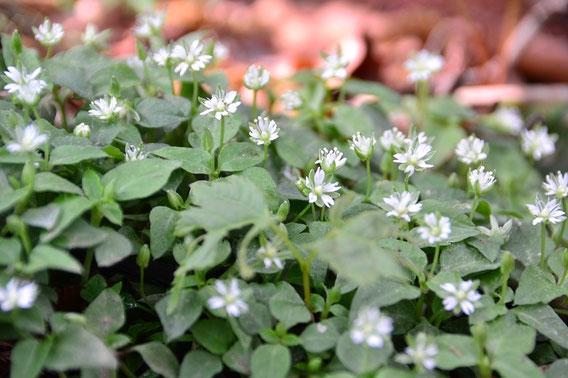 ハコベの群落です。小さな目立たない花ですが、こうして沢山集まっているようすから何かを思い出しませんか?