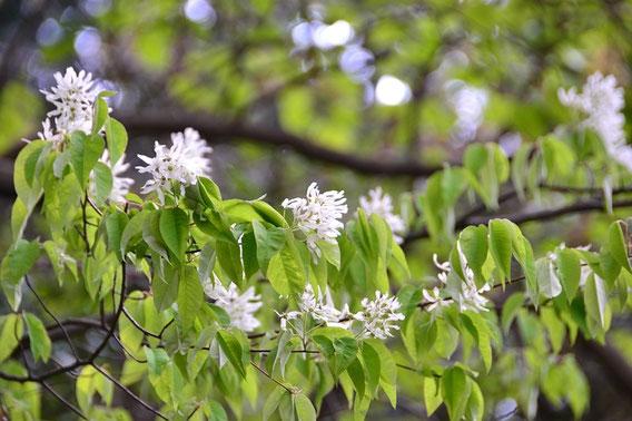ザイフリボク:文殊山では少ない。先週も咲いていた。その時はうまく写真が撮れなかった。花の寿命が長いので幸いでした。