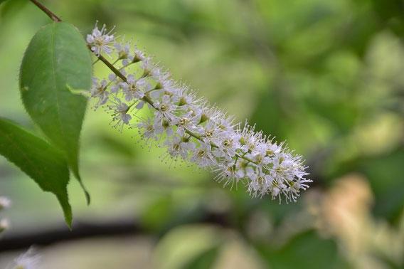 ウワミズサクラ:立派な桜の仲間でサクランボではこの花を想像できない。