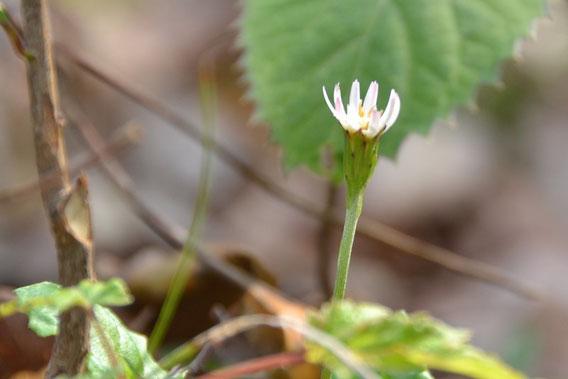 センボンヤリの春花:小さな花で咲いている株も少ないので見つけるのが大変でした。
