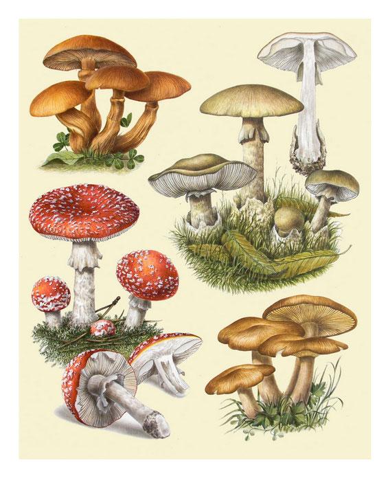 Stampe d'Arte 35x50 - Funghi - Originali ad acquerello e pastelli