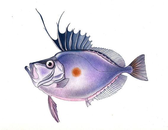 Pesce Zenopsis Nebulosa - Tecnica acquerello e pastelli - 15x25