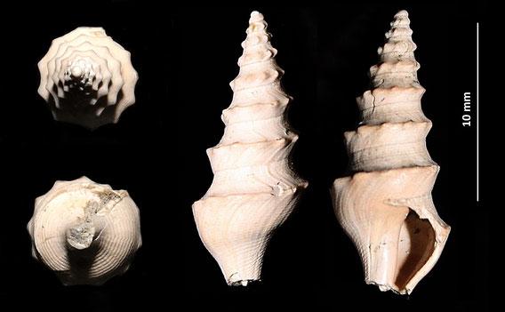 Turricula dimidiata, Quattro Castella (RE), Pliocene