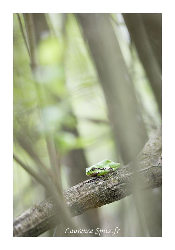 Rainette verte arboricole de Fontainebleau