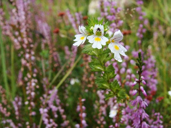 Die Euphrasia Augentropfen enthalten den Wirkstoff der Pflanze Euphrasia