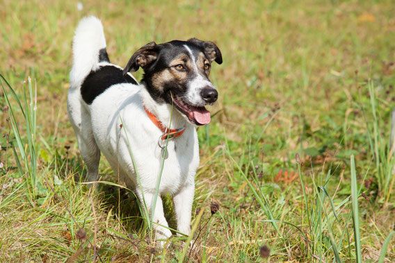 Junger Hund steht auf der Wiese und schaut aufmerksam