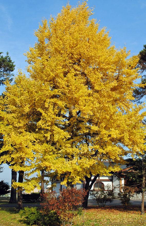 黄に燃える銀杏(いちょう)