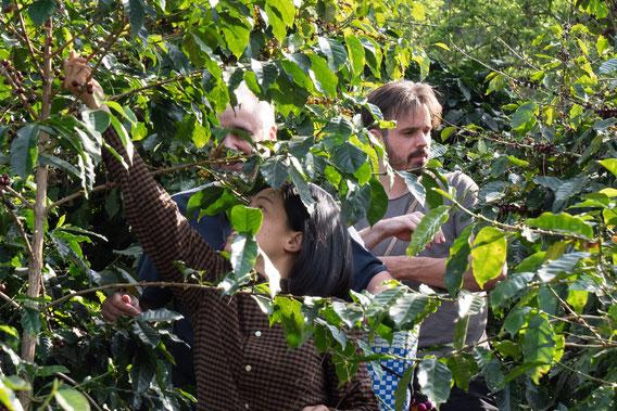 Kaffeebohnen in Thailand werden gepflückt