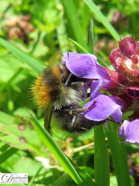 Wildbiene auf Nektarsuche. Die bedeutende Schlüsselfunktion von Bestäuberinsekten.
