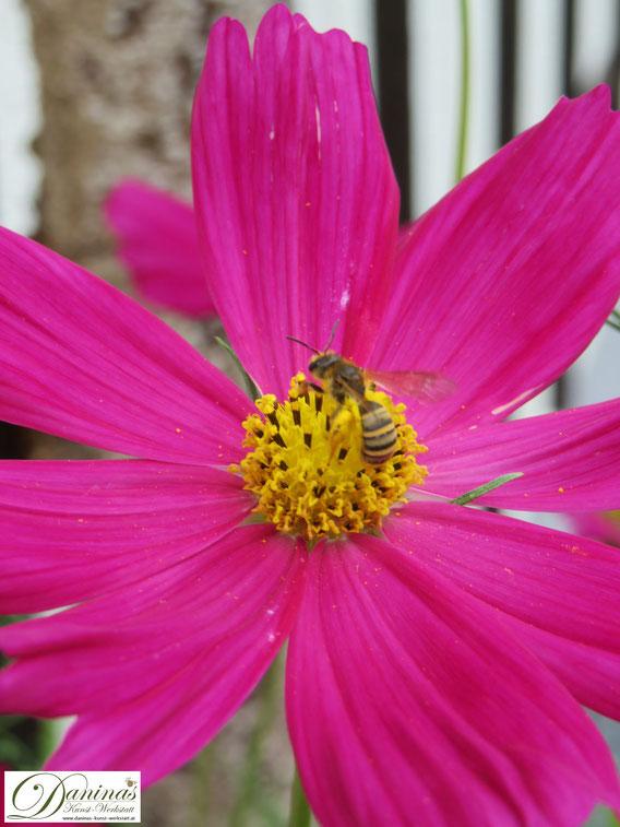 Wildbiene auf Cosmea (Schmuckkörbchen). Bunte, ungefüllte Blüten mit leicht erreichbarem Nektar sind ein Bienenparadies.