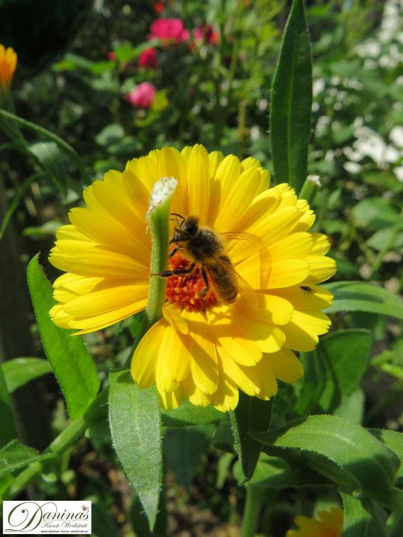 Biene auf einer Ringelblume. Nektarreiche, ungefüllte Blüten sind ideal für Bestäuberinsekten.