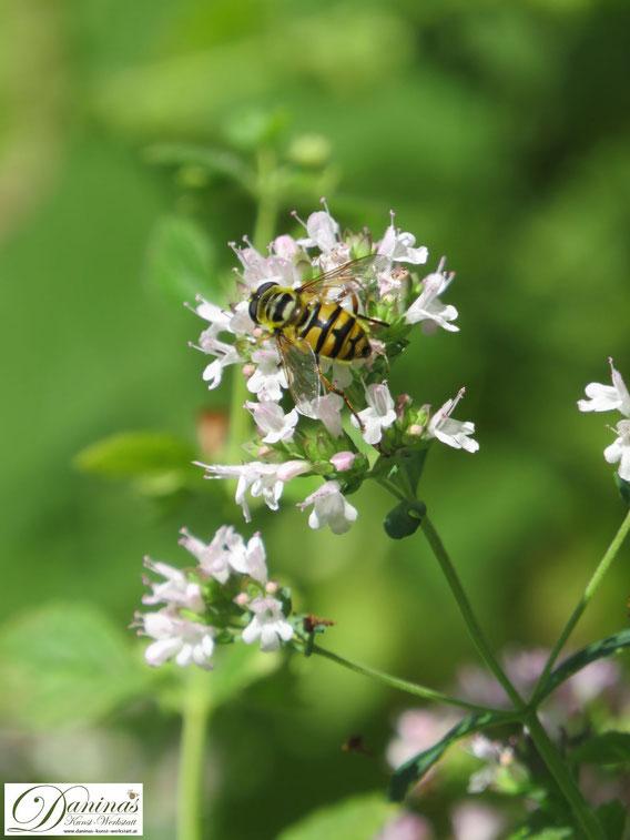 Fleißiger Blütenbestäuber: Schwebfliege sieht so gefährlich wie eine Wespe aus, kann aber nicht stechen.