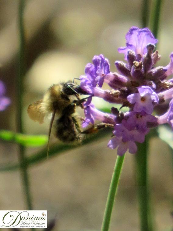 Wildbiene auf Lavendelblüte. Lavendel mögen alle Insekten!