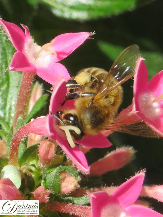Wichtige Bestäuberinsekten: Honigbiene beim Sammeln von Nektar und Pollen