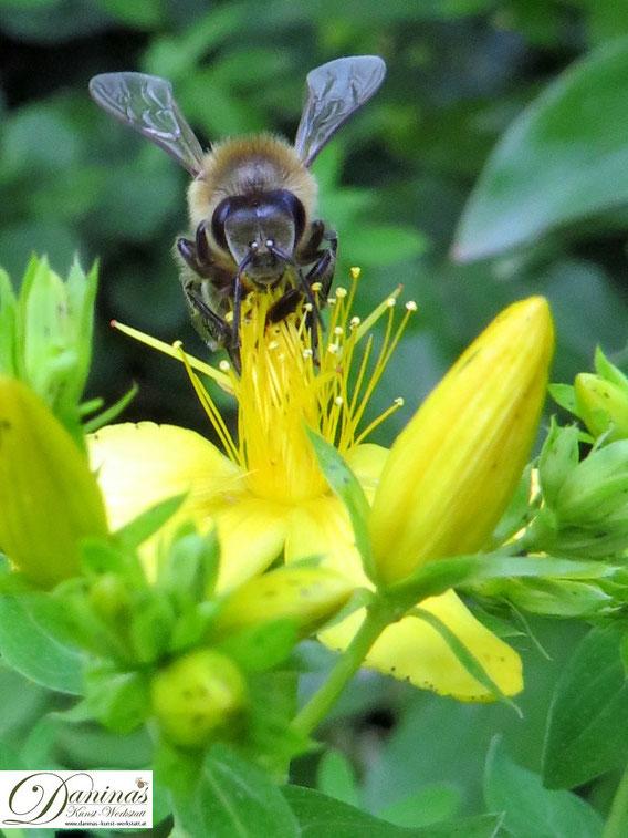 Honigbienen auf der Suche nach Nahrung auf gelber Johanniskrautblüte