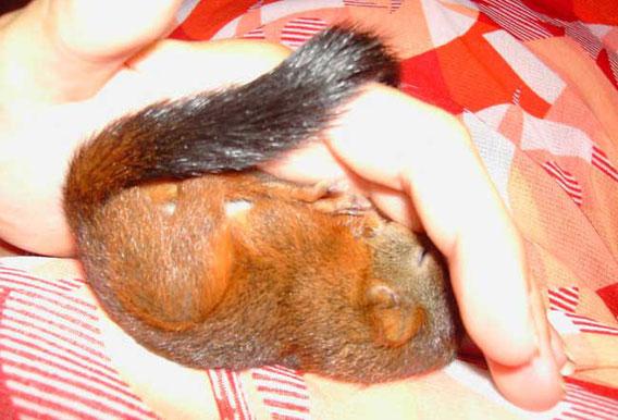B-Hörnchen