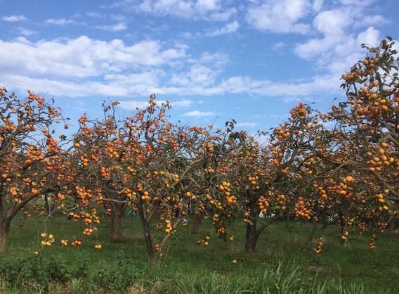 自転車で出かけた寺家ふるさと村で。柿がたわわになっていました。
