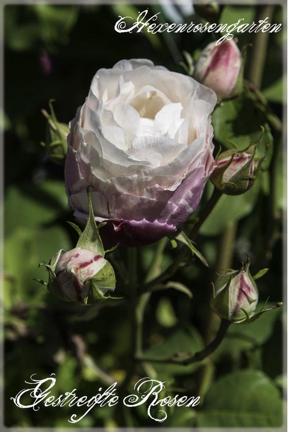 Rosen Rosenblog Hexenrosengarten Rosiger Adventskalender Gestreifte Rosen Rose des Cisterciens Delbard