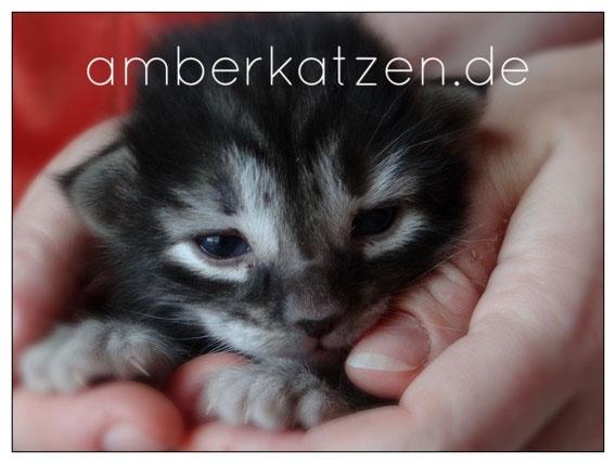 Bella von La-Lea-Lil, Norwegische Waldkatze, amber, 15 Tage alt