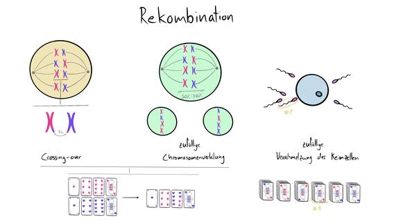 Visualisierung der Rekombination welche aus Crossing-over, Crossover, zufälliger Chromosomenverteilung, sowie zufälliger Verschmelzung der Keimzellen besteht.