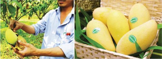 タイ産のみずみずしいマンゴーを日本へお届け