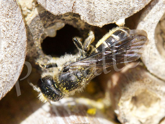 Bild: Hahnenfuß-Scherenbiene, Osmia florisomnis