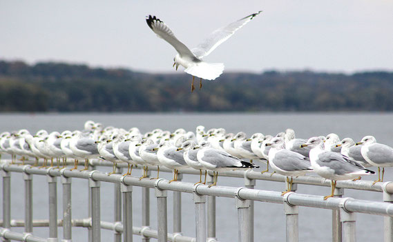 Hundreds of seagulls have been hunting for food at Lock and Dam 12 in Bellevue before migrating south for the winter. Here, a seagull comes in for a landing to join the rest of tbe group for a rest on the railings of the lock.