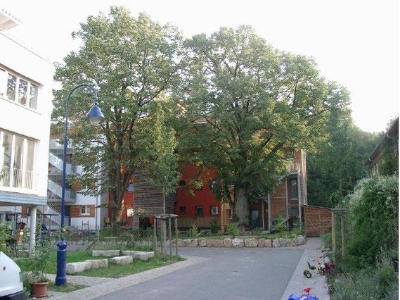新築・大木付きの家。分譲する土地の中には、大木が庭の部分にすでに存在する物件もあった。もちろん、この大木の根の部分、樹幹部分の面積は保護が指定されており、切り倒したり、枝振りをして、構造物を建てることは許されていない。