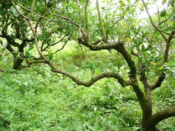 カミキリムシの被害を受けたレモンの木