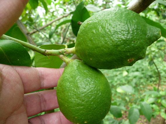 双子のレモン