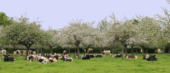 Camembert sous les pommiers