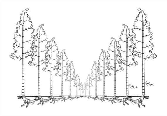 Dibujo esquemático de la propagación por rizomas de la guadua