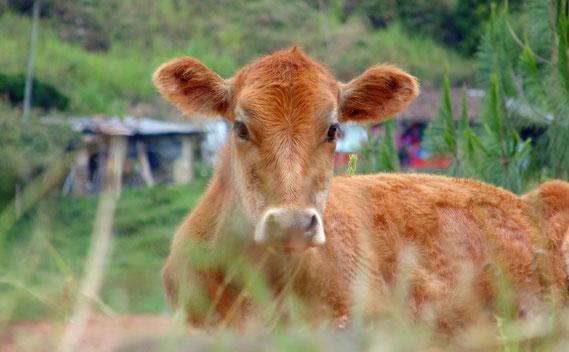 Ganado: lindos y grandes productores de dióxido de carbono y metano
