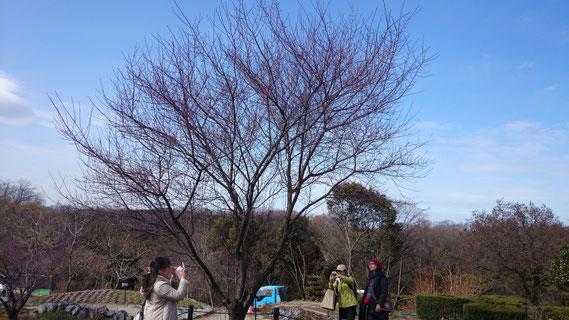 チェリープラムの蕾が赤みを増してきました。もう少しすれば開花が気になり、この木の回りにみんながいそいそと集まります。動かない樹木が人を動かすことの面白さ!