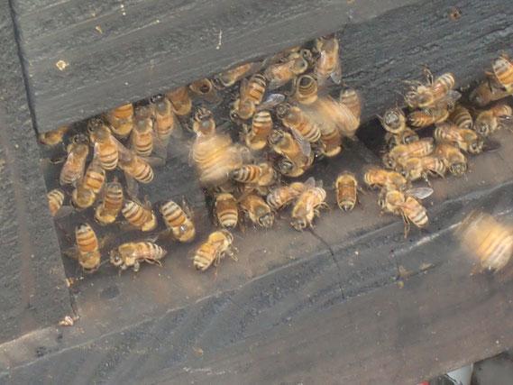 蜜蜂です。メロンの受粉のために働いています。