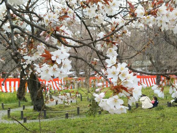 紅白の幕も張られ、いよいよシーズンに突入   3月24日 平野神社にて