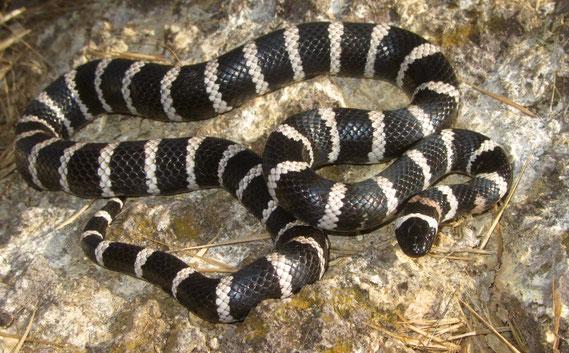 Serpiente rey de isla Todos Santos (Lampropeltis herrerae). Foto: Jorge H. Valdez