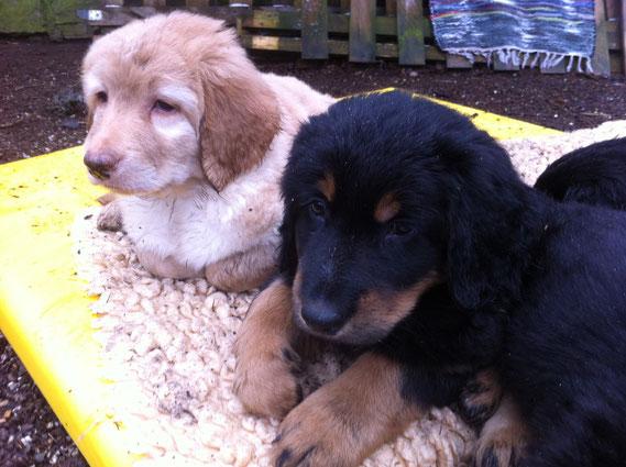 Der Schrottsammler ist bei den Nachbarn, da müssen Booker (blond) und Baki mal kurz ihr Nickerchen unterbrechen....(21.03., fast 8 Wochen alt)